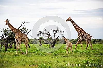 Giraffes family, Etosha Park, Namibia