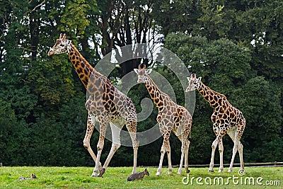 Giraffes family in the wildlife park