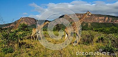 Giraffes in a game reserve