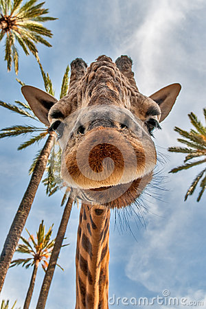 Free Giraffes Head Royalty Free Stock Photo - 30882275