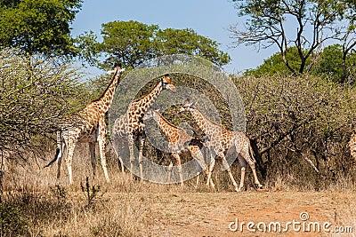 Giraffes Herd Calf's Wildlife