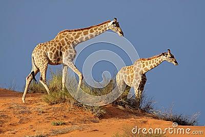 Giraffes, Kalahari desert, South Africa