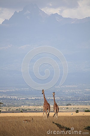 Giraffes near Mt Kenya_2