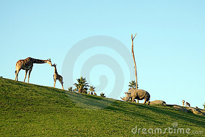Giraffes and rhino