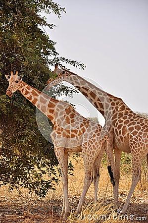 Giraffes from Sahel, Niger