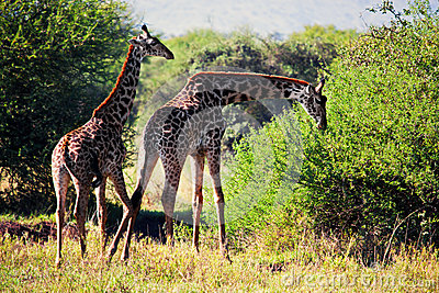 Giraffes on savanna eating. Safari in Serengeti, Tanzania, Africa