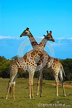 Giraffes South Africa