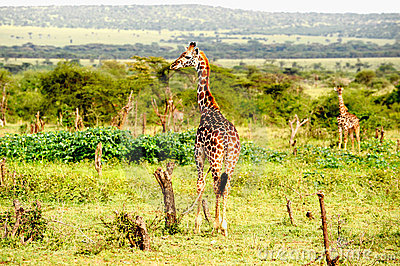 Giraffes standing in the African savannah.On safar