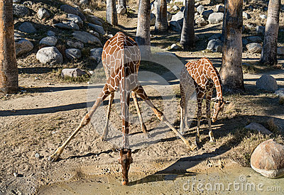Giraffes taking a drink
