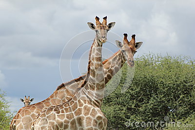 Giraffes - Who are you ?