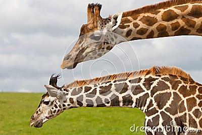 Giraffes in wildlife park