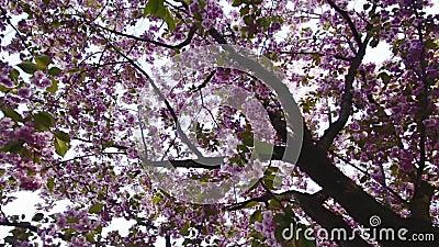 Girar sob as flores de cerejeira vídeos de arquivo
