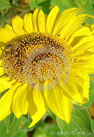 Girasole con l ape