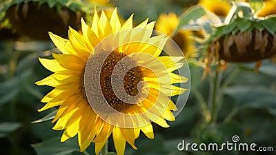 Girasole sul campo d'estate, sotto il sole splendente stock footage