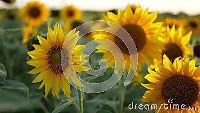 Girasole sul campo d'estate, sotto il sole splendente video d archivio