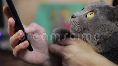 Girl with a cat. Girl with a smartphone and a British cat in her arms stock video