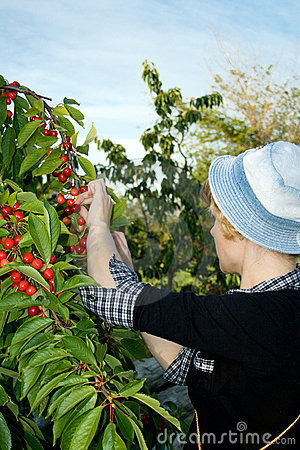 Free Girl Collects A Sweet Cherry Stock Image - 5462301