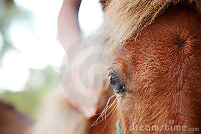 Girl s hand on miniature horse filly