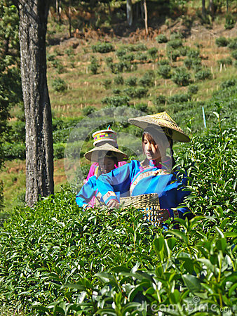 Girls crop green tea Editorial Image