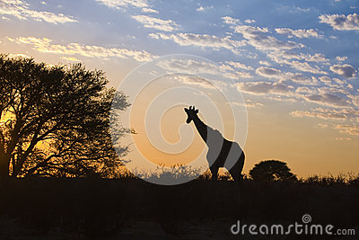 Girraffe silhouetted against sunrise sky