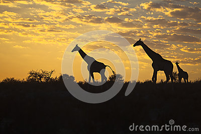 Girraffes silhouetted against sunrise sky