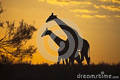 Girraffes silhouetted mot soluppgånghimmel