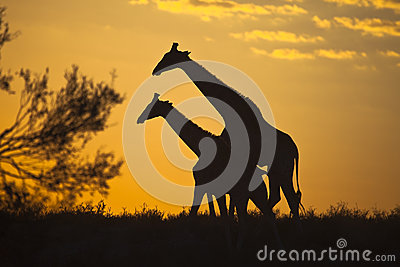Girraffes tegen zonsopganghemel die wordt gesilhouetteerd