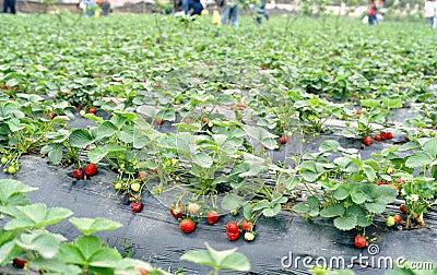 Gisement de fraise