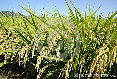 Gisement de riz