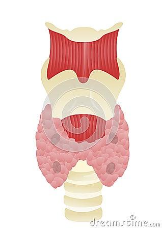 Glândula de paratireóide