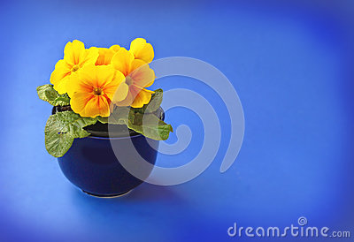 Yellow primula blooming