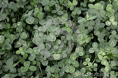 Glade of white clover as an example of Guerrilla gardening in the city Stock Photo