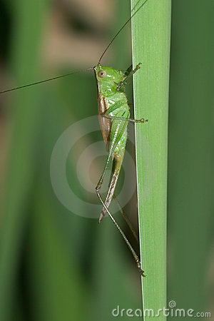 Gladiator Meadow Katydid