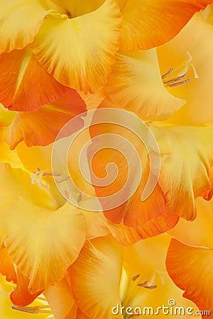 Free Gladiolus Stock Image - 31450731