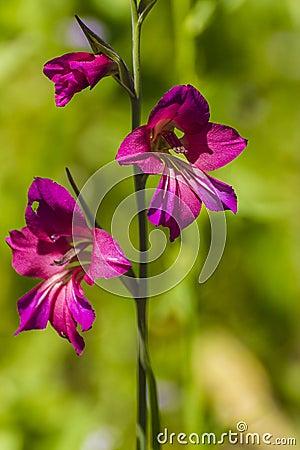 Free Gladiolus Stock Photos - 35553623