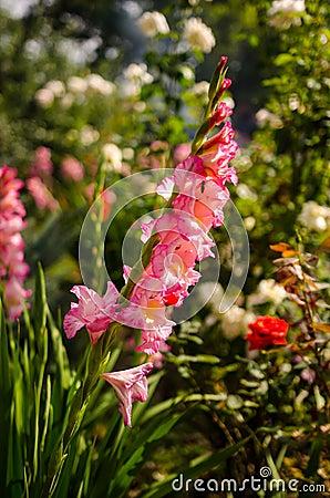 Free Gladiolus Stock Images - 46974344