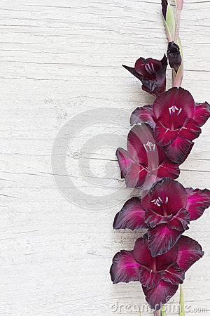 Free Gladiolus Royalty Free Stock Image - 47484356