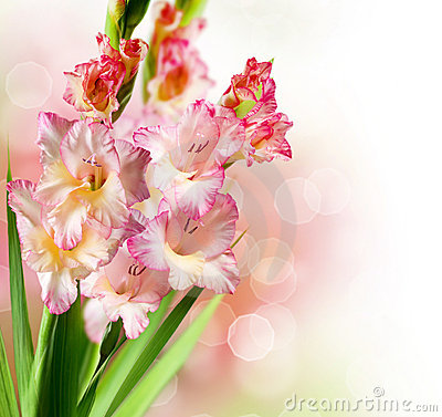 Pink Gladiolus Flowers Bouquet Isolated On White Royalty Free ...