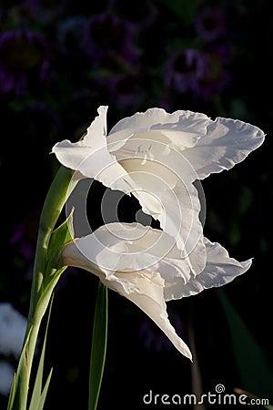 Gladiolus flowers in bloom