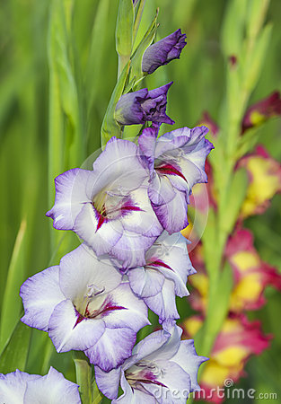 Free Gladiolus In Garden Royalty Free Stock Photos - 58012948