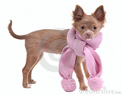 Glamorous chihuahua puppy with pink scarf