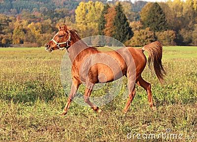 Glamourous Arabian mare