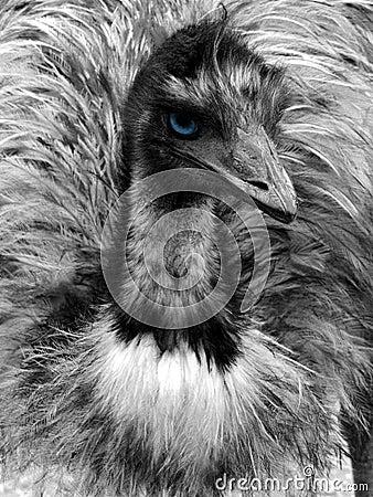 Black and white emu portrait with blue eye