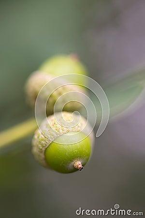 Glands dans l arbre