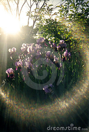 Glare of sun on irises
