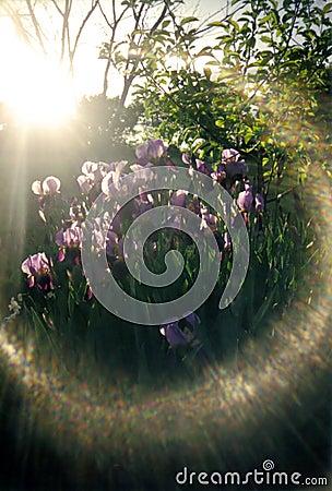 Glare of sun on irises