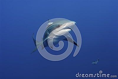 Glaring bull shark