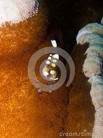 Glass Anemone Shrimp1