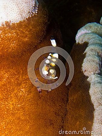 Glass Anemone Shrimp1