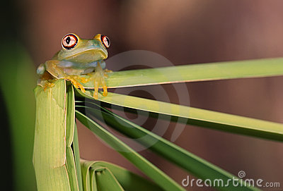 Glass frog (centrolene)